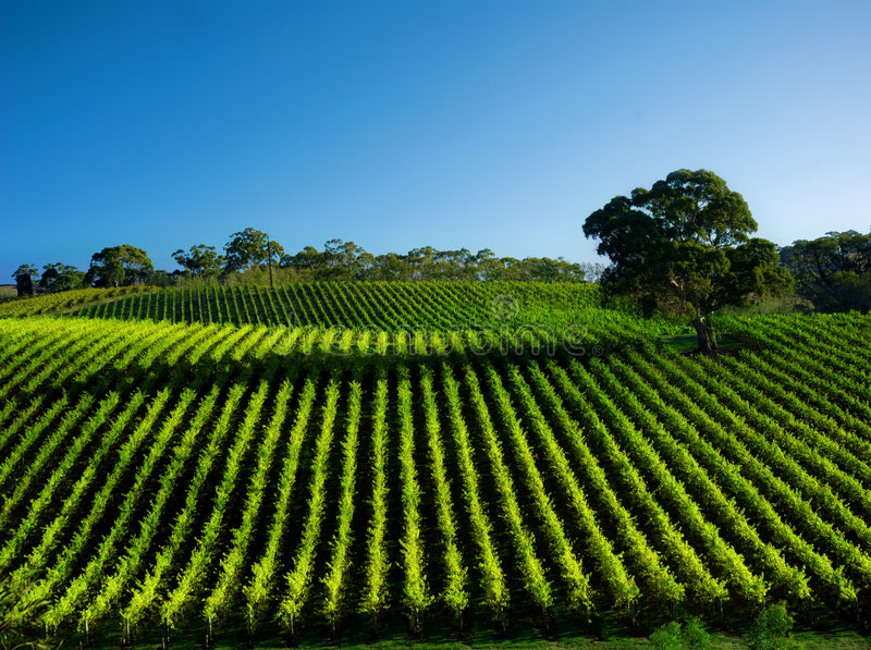 livlig vingård royaltyfria foton