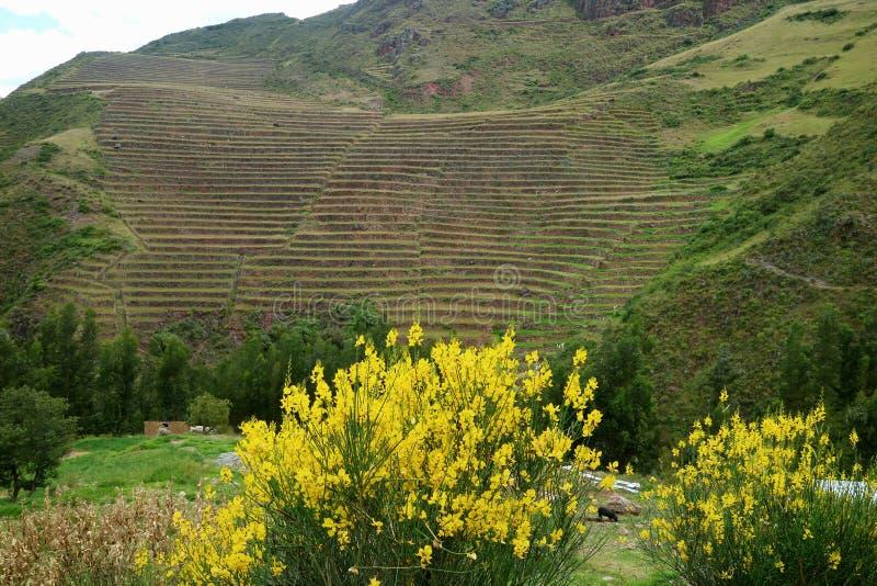 Livliga gula lösa blommor som blommar mot klev jordbruks- terrasser på bergssidan av den sakrala dalen av incasna, Cusco arkivfoton