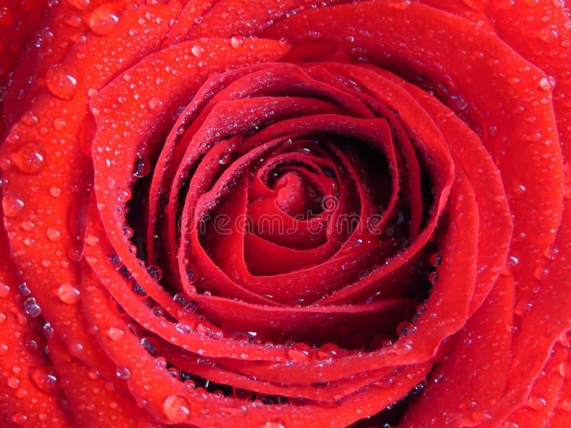 Livligt rött rosbakgrundsslut upp Enkel röd ros som täckas med droppar för vattenregndagg Blomma Bakgrund royaltyfri foto