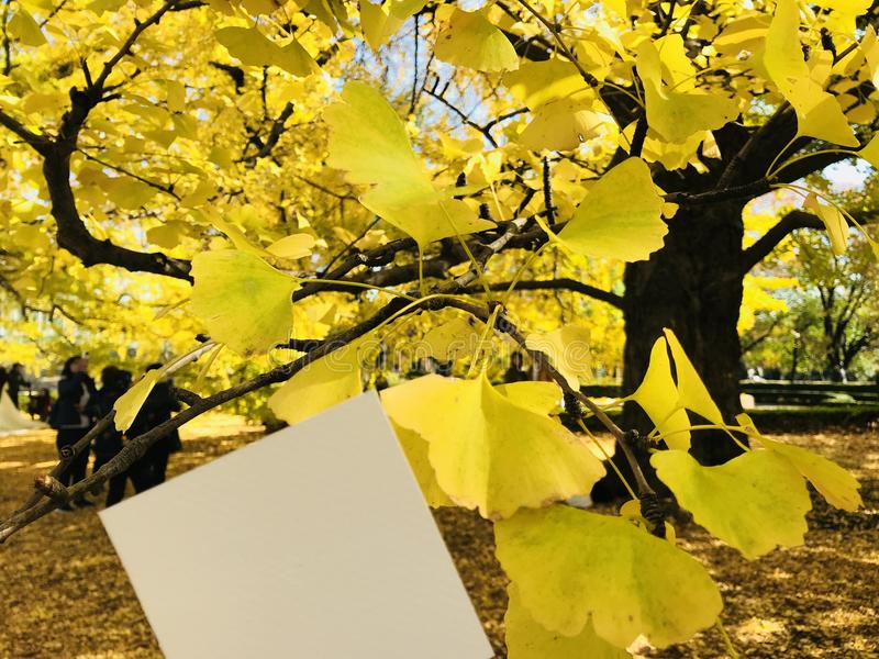 Livro Branco vazio com as árvores amarelas bonitas da nogueira-do-Japão imagens de stock royalty free