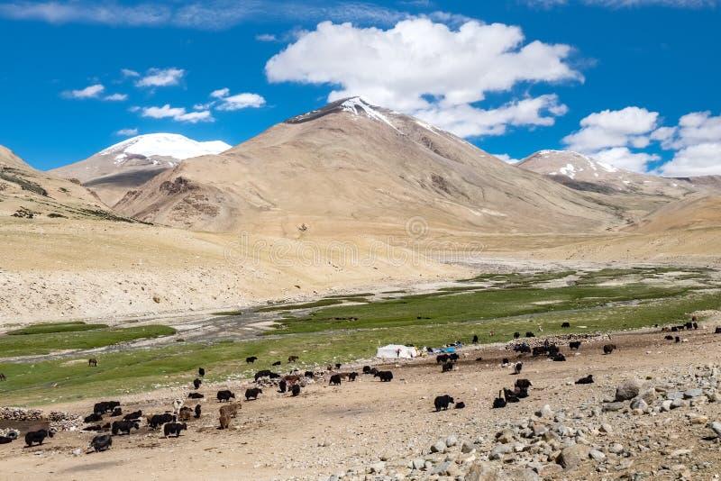 Livsmiljö av nomadfolk och deras boskap nära Tso Moriri sjön i Changtang, Ladakh, Indien arkivbild