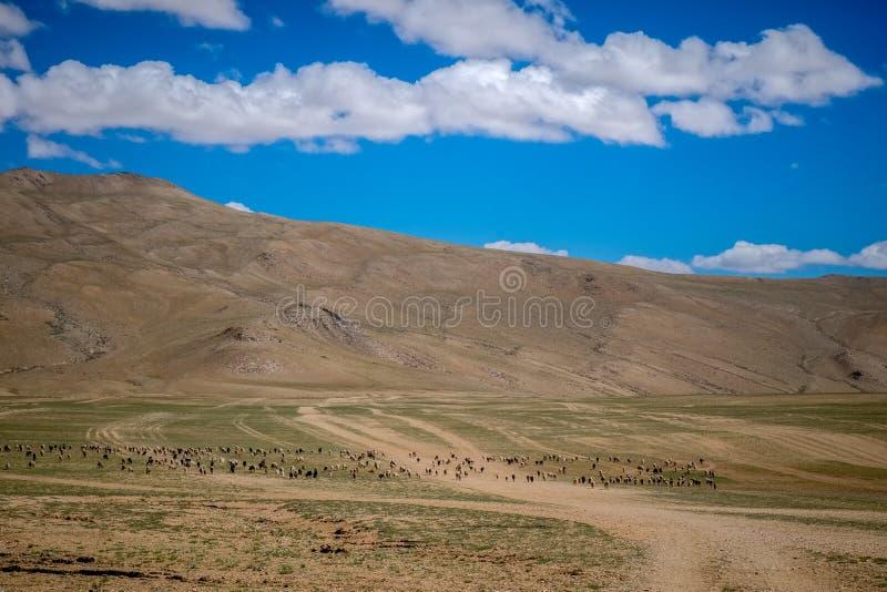 Livsmiljö av nomadfolk och deras boskap nära Tso Moriri sjön i Changtang, Ladakh, Indien royaltyfri foto