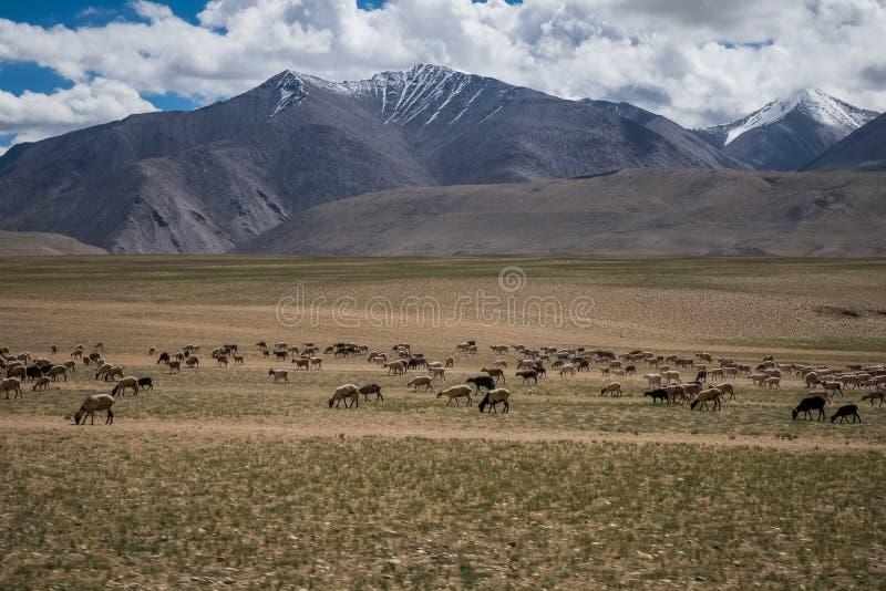 Livsmiljö av nomadfolk och deras boskap nära Tso Moriri sjön i Changtang, Ladakh, Indien fotografering för bildbyråer