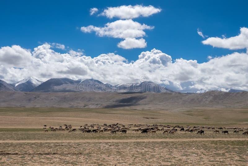 Livsmiljö av nomadfolk och deras boskap nära Tso Moriri sjön i Changtang, Ladakh, Indien royaltyfria foton