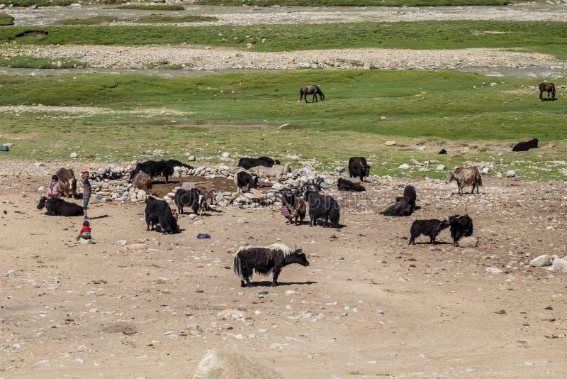 Livsmiljö av nomadfolk och deras boskap nära Tso Moriri sjön i Changtang, Ladakh, Indien arkivfoto