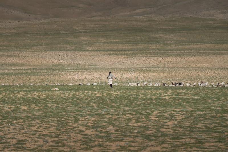 Livsmiljö av nomadfolk och deras boskap nära Tso Moriri sjön i Changtang, Ladakh, Indien royaltyfri fotografi