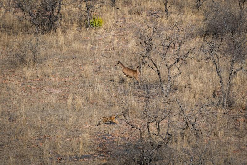 Livsmiljöbild med en kvinnlig för tigergröngöling och körande sambarhjort för varning på den Ranthambore nationalparken arkivfoto