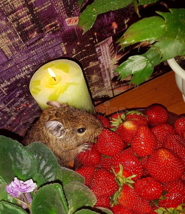 1 livstid fortfarande På tabellen i bunken finns det en ljus röd jordgubbe som hålls av litet tafsar och ätas av en hamster med fotografering för bildbyråer