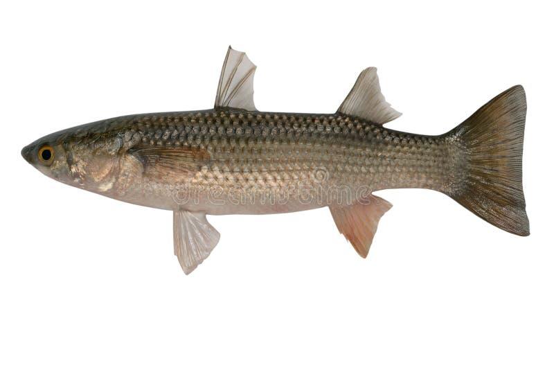 Liza haematocheilus, Redlip Meeräsche, stockfoto