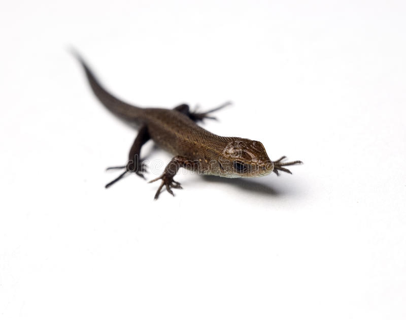 Download Lizard stock photo. Image of cute, gecko, copy, colorful - 11227632