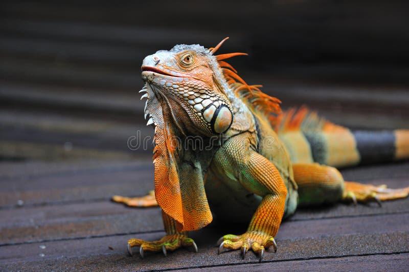 Download Lizard stock image. Image of iguana, dragon, opened, reptile - 13189113
