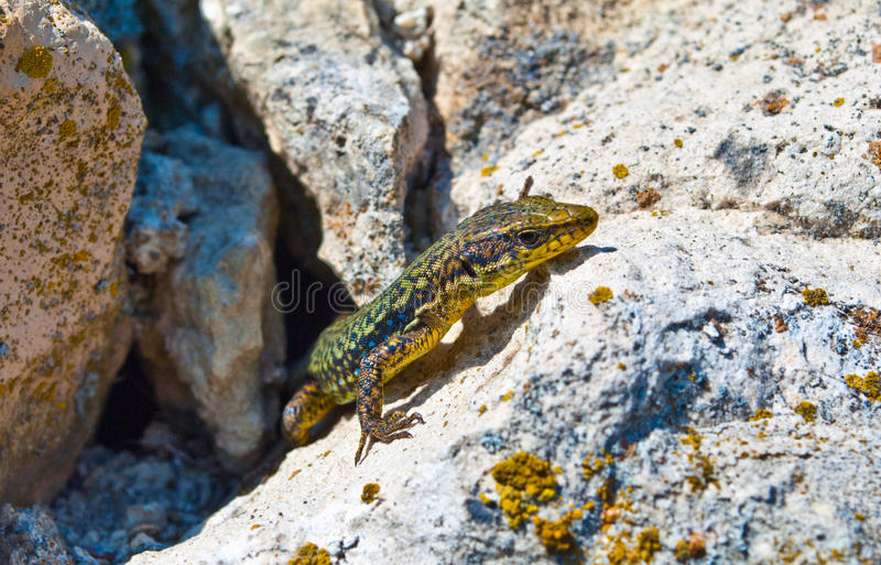 Download Lizard stock photo. Image of abstract, nature, tropical - 13731456