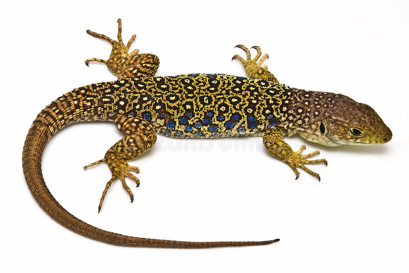 Lizard. royalty free stock photos
