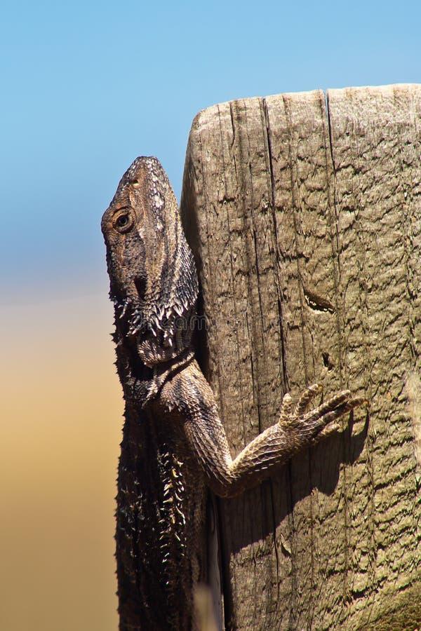 Free Lizard Stock Photos - 16380263