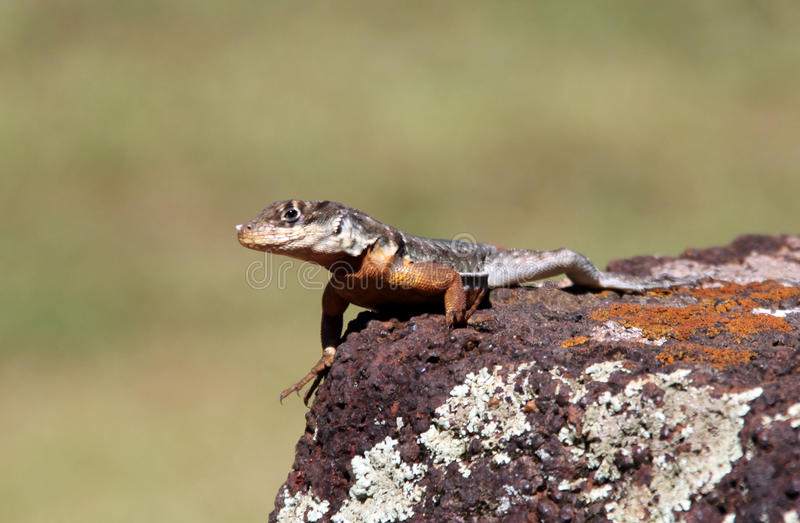 Download Lizard stock photo. Image of heat, scale, looking, nature - 17155380