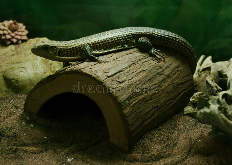 Lizard Free Stock Photography