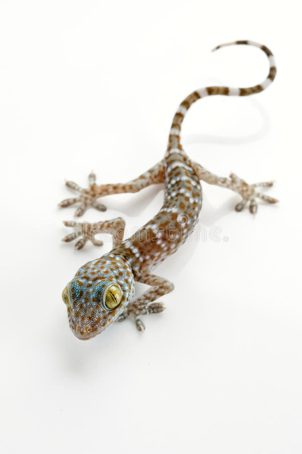 Free Lizard Royalty Free Stock Photography - 19789507