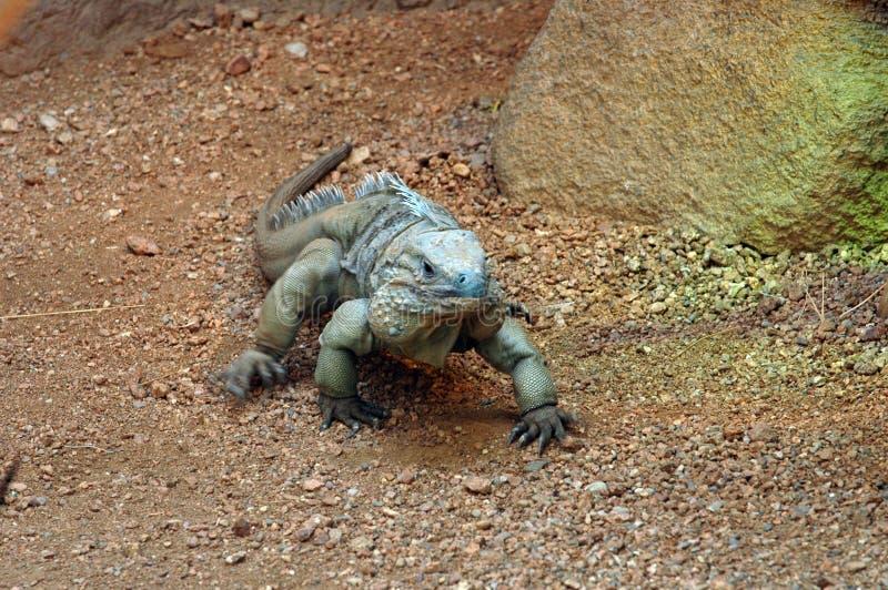 Lizard 2 Stock Image