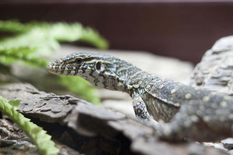 Download Lizard stock photo. Image of poisonous, animal, reptile - 22599742