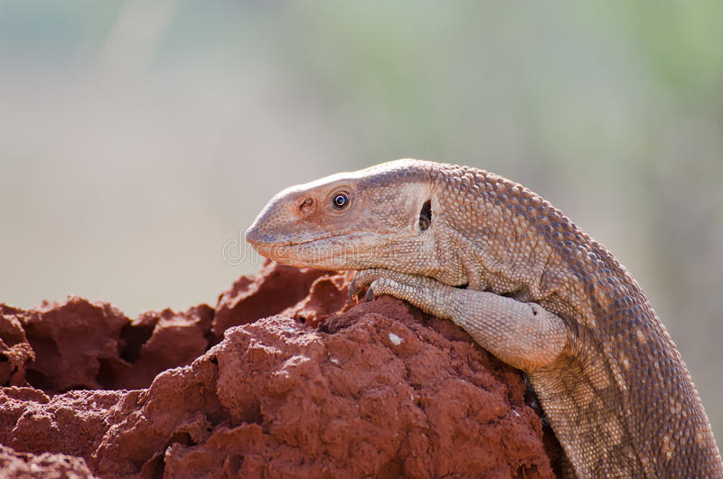 Download Lizard stock photo. Image of outback, anthill, light - 24248482