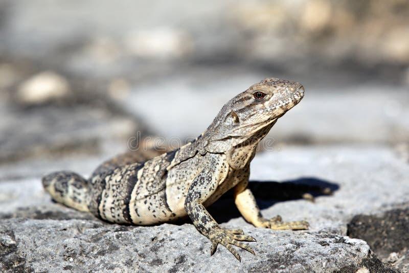 Download Lizard stock image. Image of caribbean, rock, desert - 24264237