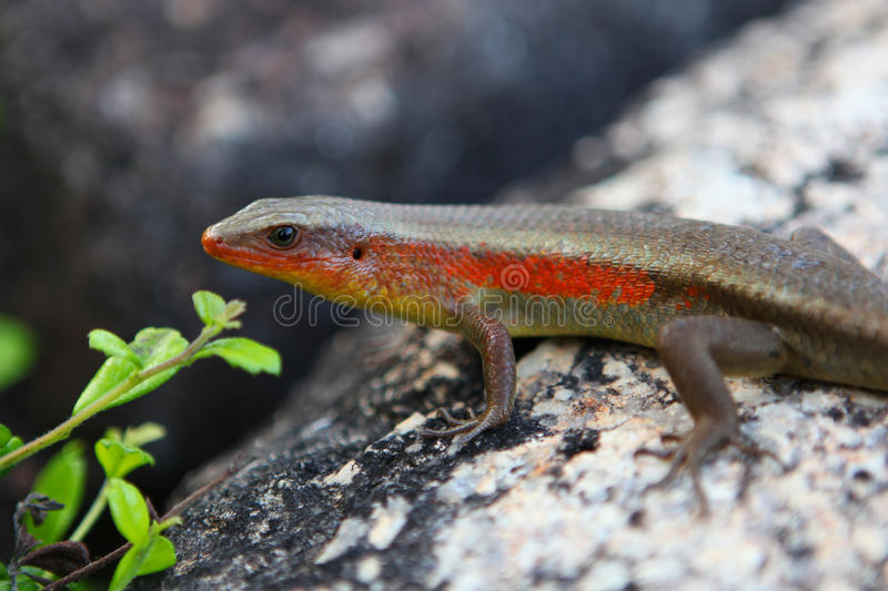 Download Lizard stock image. Image of reptile, natural, close - 24477841