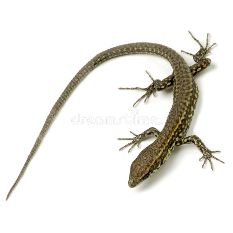 Free Lizard Royalty Free Stock Image - 2714026