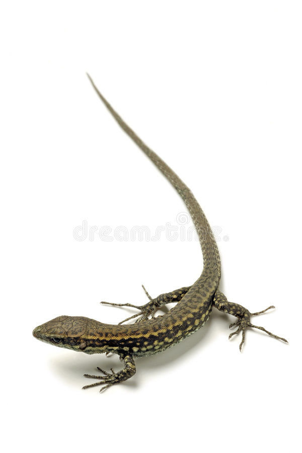 Download Lizard stock image. Image of skin, beast, lizard, tail - 2714045