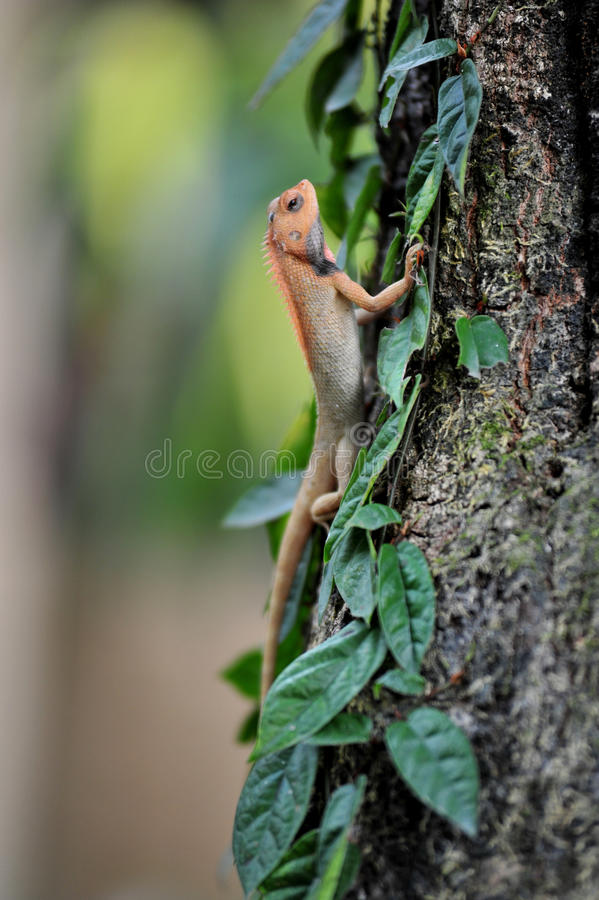 Free Lizard Stock Photography - 31485262
