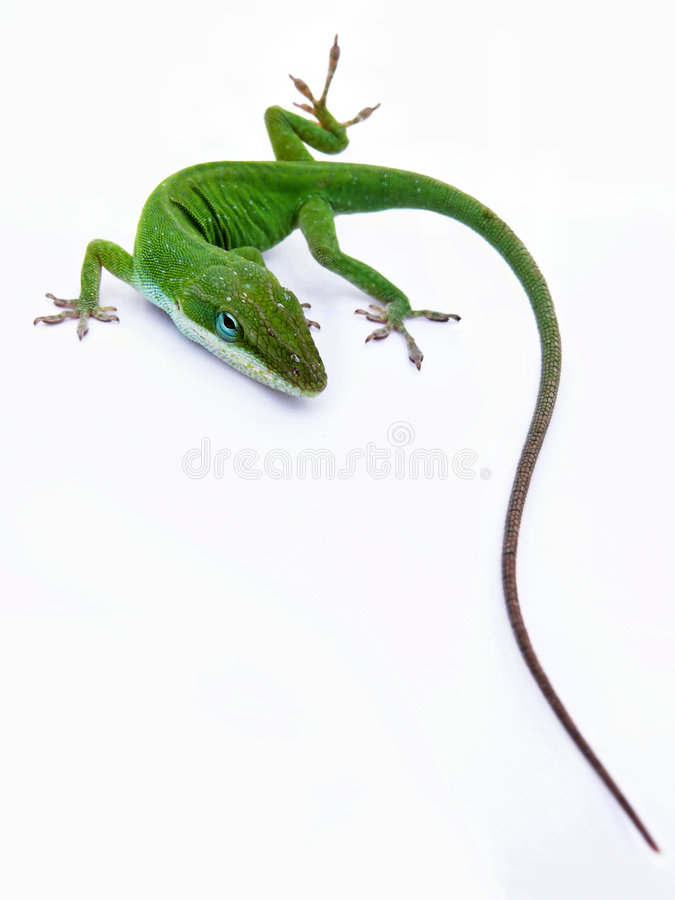 Download Lizard stock photo. Image of isolated, crawling, colorful - 4133556