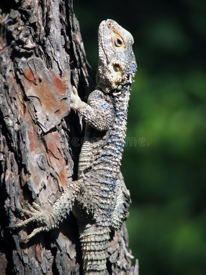 Download Lizard stock photo. Image of turkey, tree, lizard, dragon - 4654996