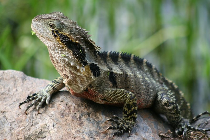 Download Lizard stock photo. Image of claws, wild, skin, camoflage - 514504