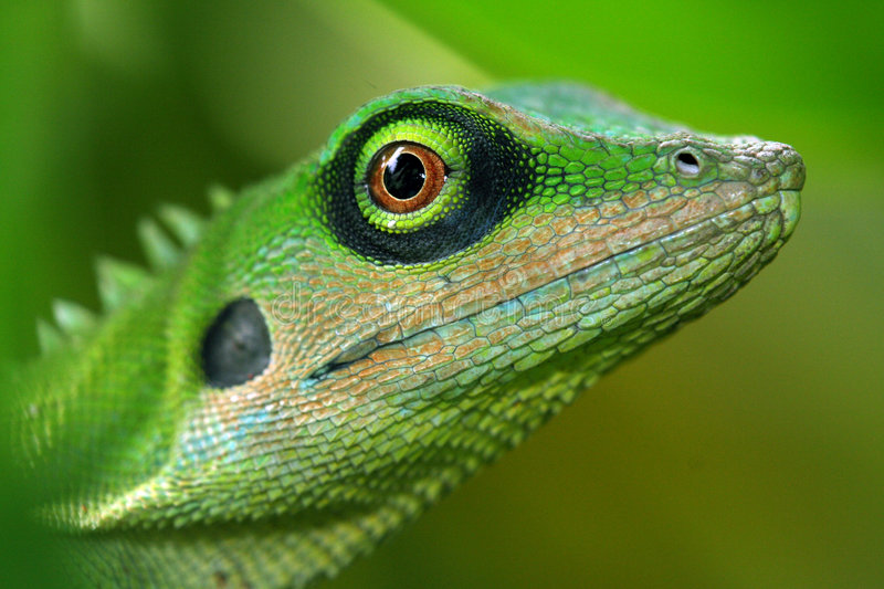 Download Lizard stock photo. Image of animals, reptiles, close, lizard - 566034