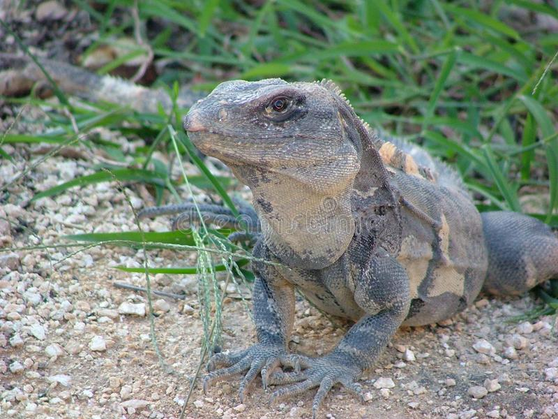 Download Lizard stock photo. Image of ground, dragon, coldblooded - 606516