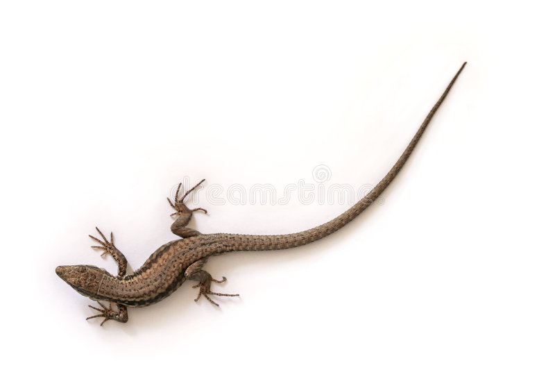 Lizard. Over white background royalty free stock images