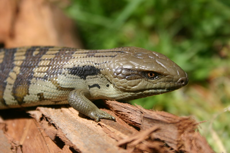 Download Lizard Stock Photography - Image: 90582