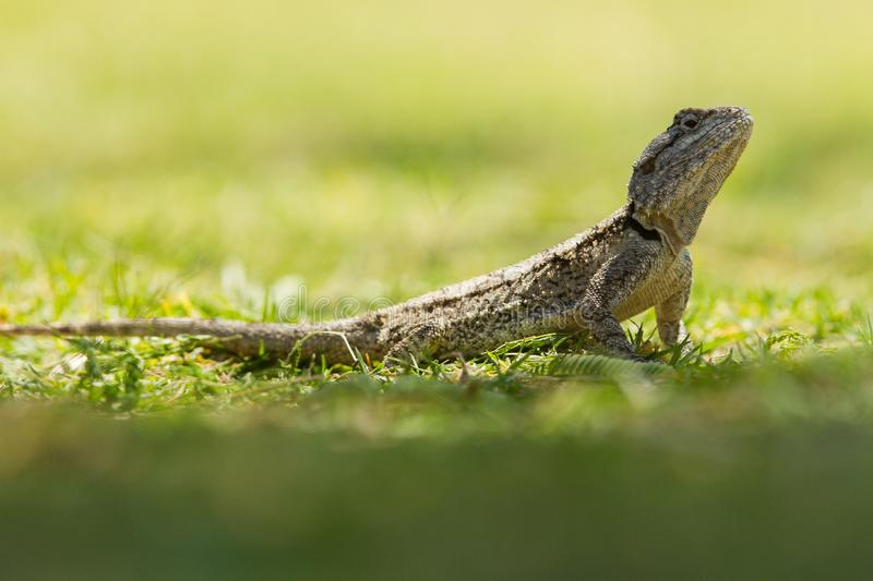 Lizard in Africa. Lizard on the gress in Africa stock photography