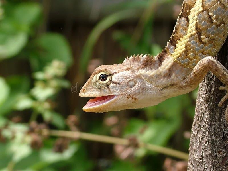 Lizard, agama stock photography