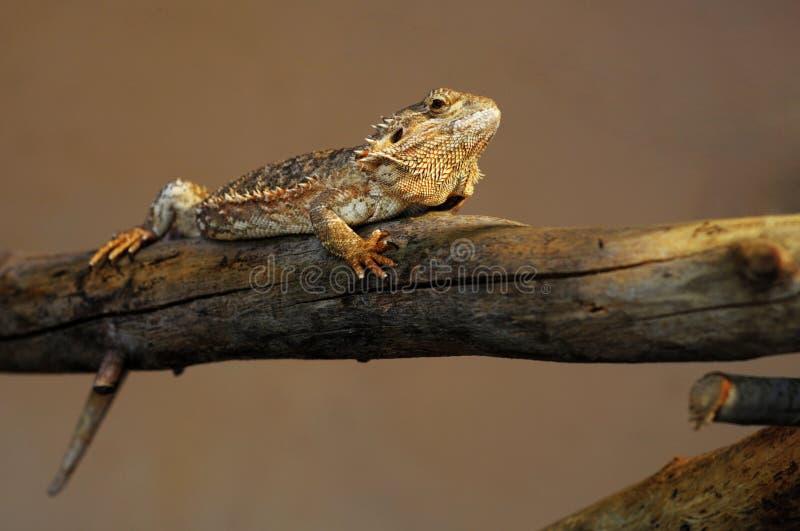 Lizard In Balance Royalty Free Stock Photos