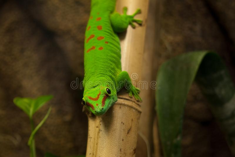 Lizard on a bamboo stick. Young green lizard with red dots sitting on a bamboo stick stock images