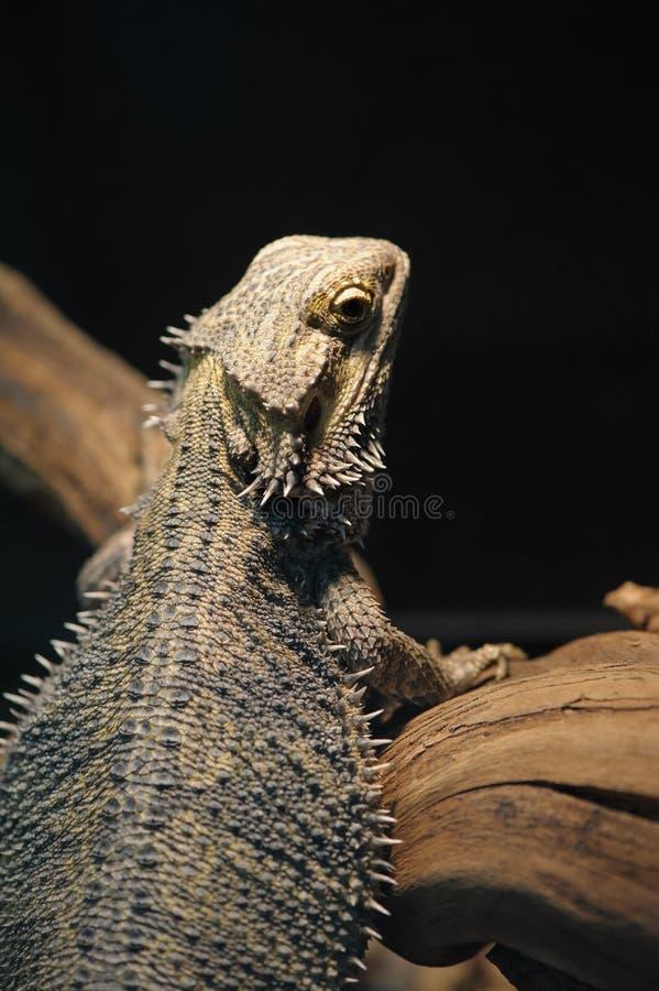 Lizard Bearded Dragon stock images