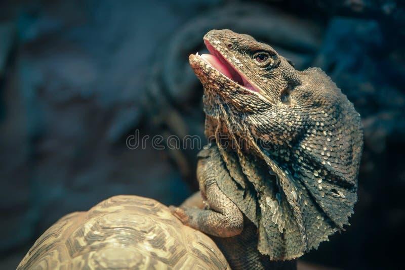 Download Lizard stock photo. Image of lizard, fight, turtle, amphibians - 30573924