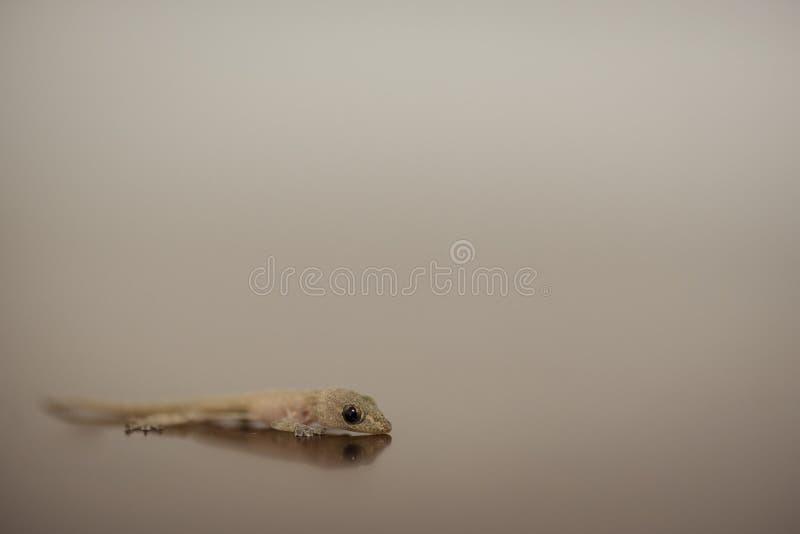 Lizard on a blur background. Closeup of lizard on a blur background stock images