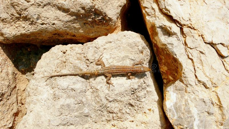 Lizard on boulders closeup view royalty free stock photo