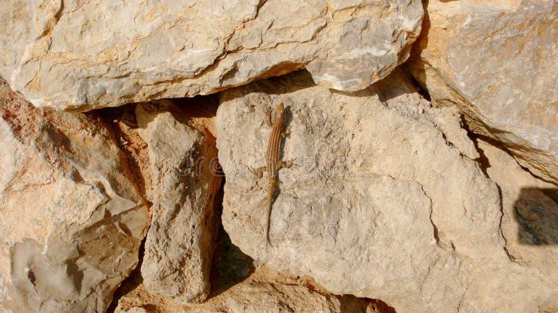 Lizard on boulders 3. A lizard laying on warm rocks and sunbathing, Ibiza, Eivissa royalty free stock photography