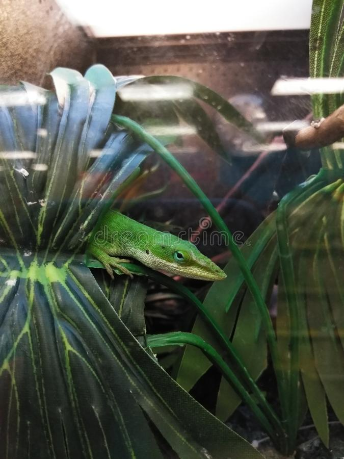 Lizard in a Pet Store Cage. A lizard on a branch in the pet store cage. He`s peeking out from behind a leaf stock images