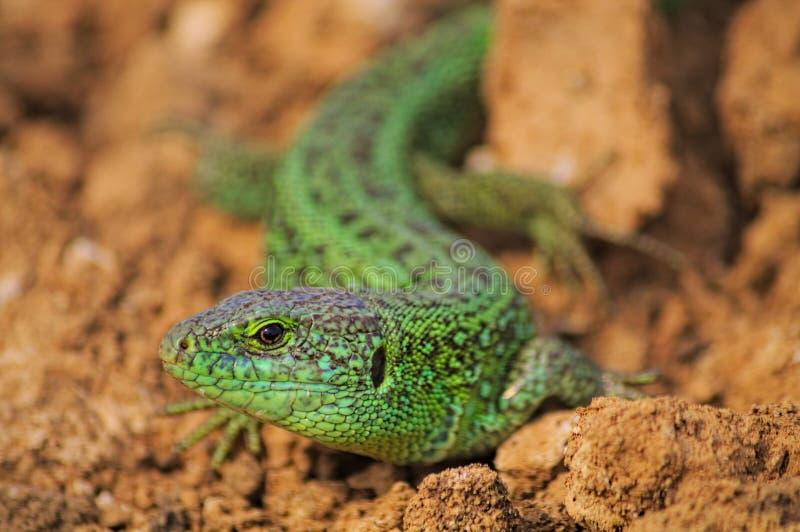 Reptiles. Brown fulvous lurid greyish-brown hazel stock photography