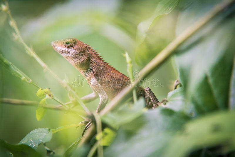 Lizard. Brown lizard in jungle in Thailand royalty free stock photos