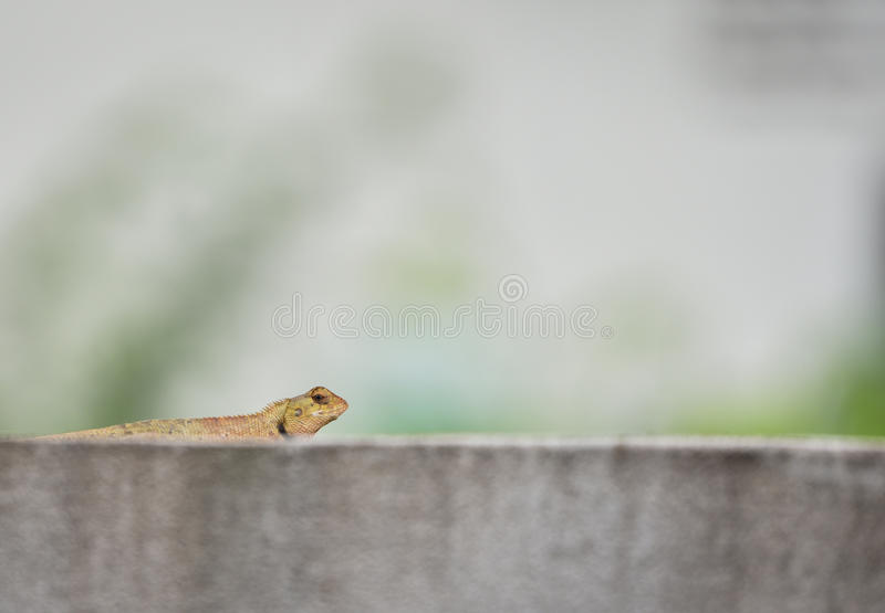 The Lizard. Brown lizard relax on the fortification stock photo