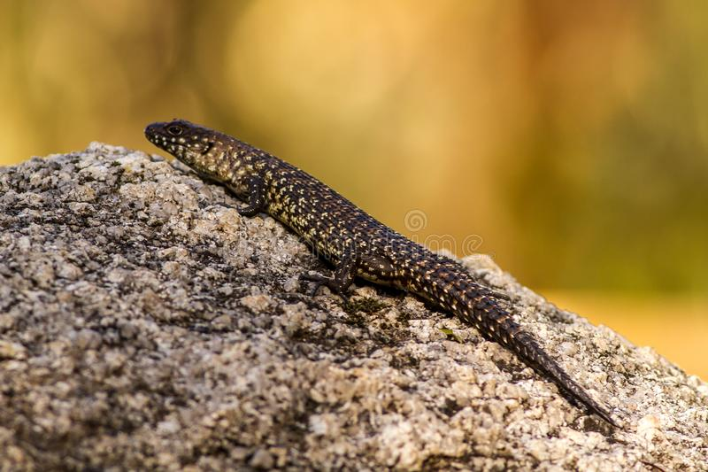 Lizard Canberra Cunningham`s Skink Egernia Cunninghami. On the rock. Captured in Australia royalty free stock photography